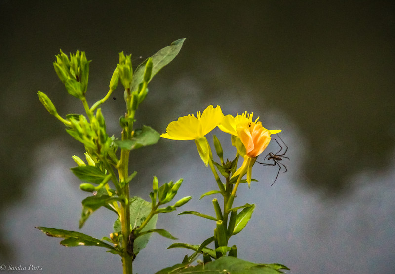 8-28-2020: River flower, with spider
