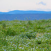 3-19-2020: A field of bluets, and the Alleghenies