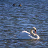 1-8-2020: Swan, Silver Lake.