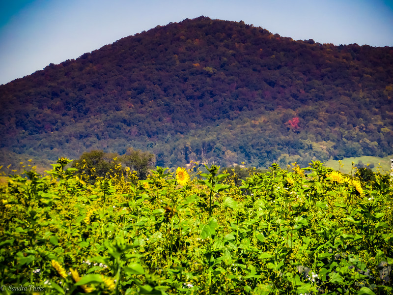 9-22-2020: Sunflower, in the shadow of the mountain.