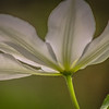 5-20-2020: Clematis, at home