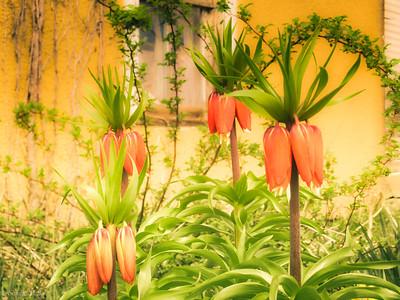 3-22-2020: Fritallaria #abandonedflowers