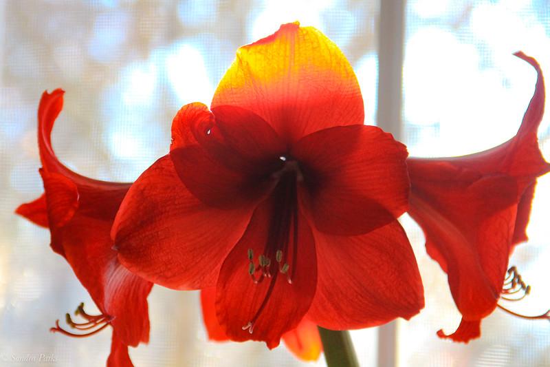 1-5-2020: Amaryllis in the sunlight