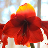 1-5-2020: Amaryllis in the sunlight
