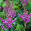 6-17-2020: Astilbe in the park,