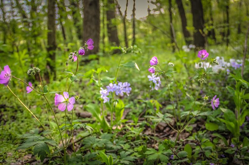 4-25-2020: Wild flowers in the WIldwood