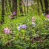 4-25-2020: Wild flowers in the WIldwood