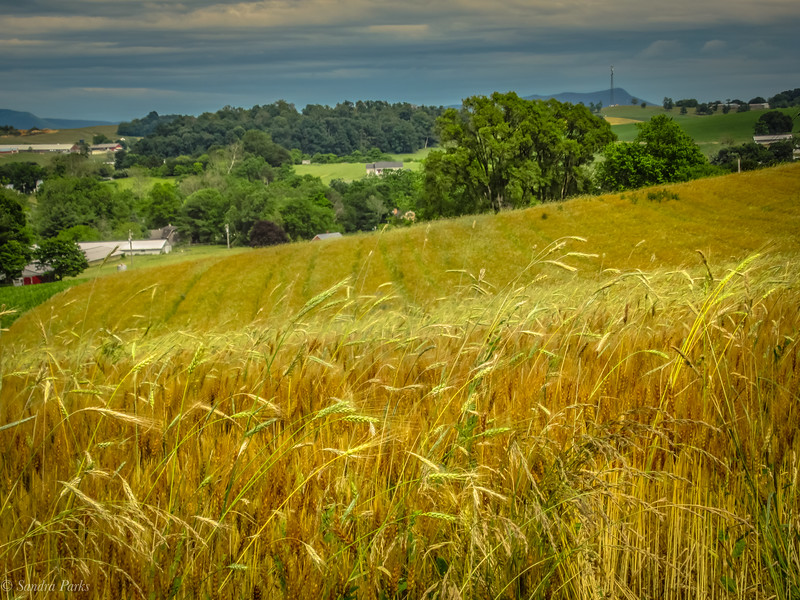 6-16-2020: Amber waves of grain