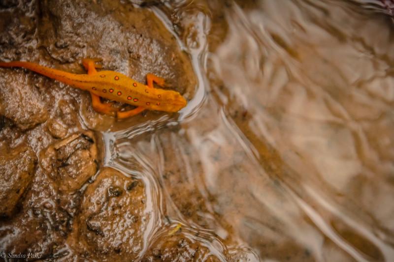 8-21-2020: Salamander in a mud puddle