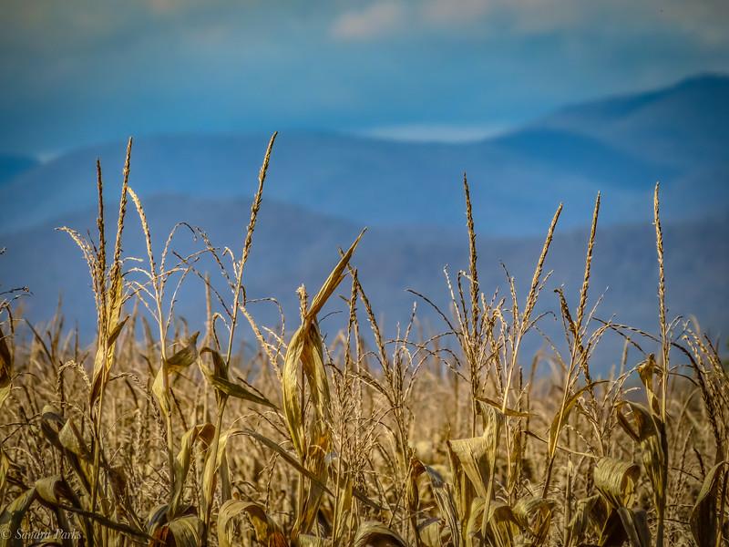 11-1-2020: Corn and Alleghenies.