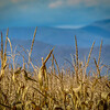 11-1-2020: Corn and Alleghenies.