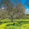 4-8-2020: Fields of yellow