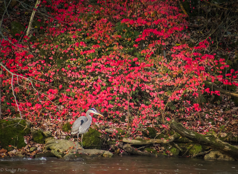 11-13-2020: Heron in a sea of red