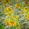7-31-2020: A field of sunflowers on a rainy day