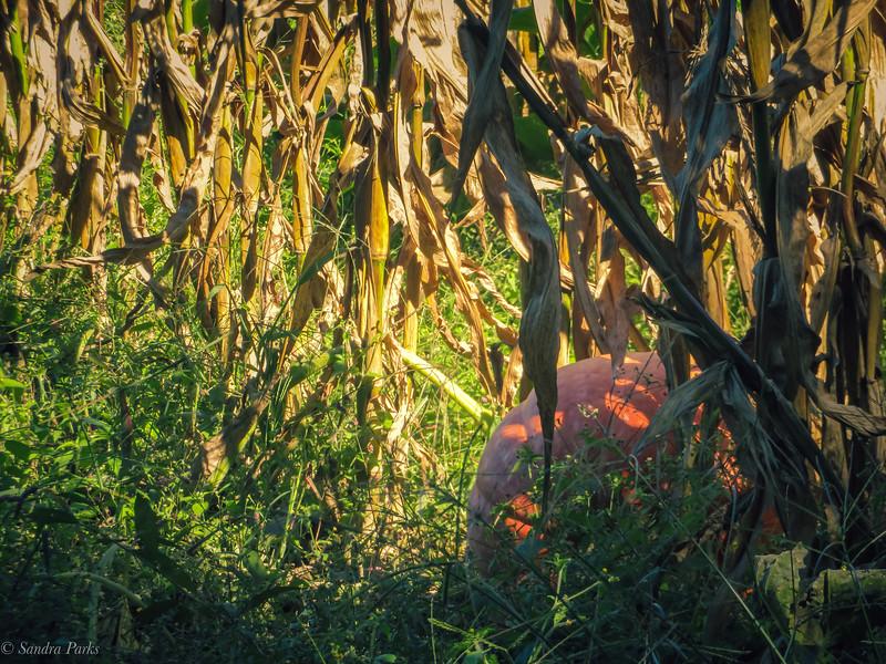 9-20-2020: Pumpkin hiding in the corn