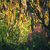9-20-2020: Pumpkin hiding in the corn