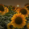 9-15-2020: SUnflowers under a smoky sun