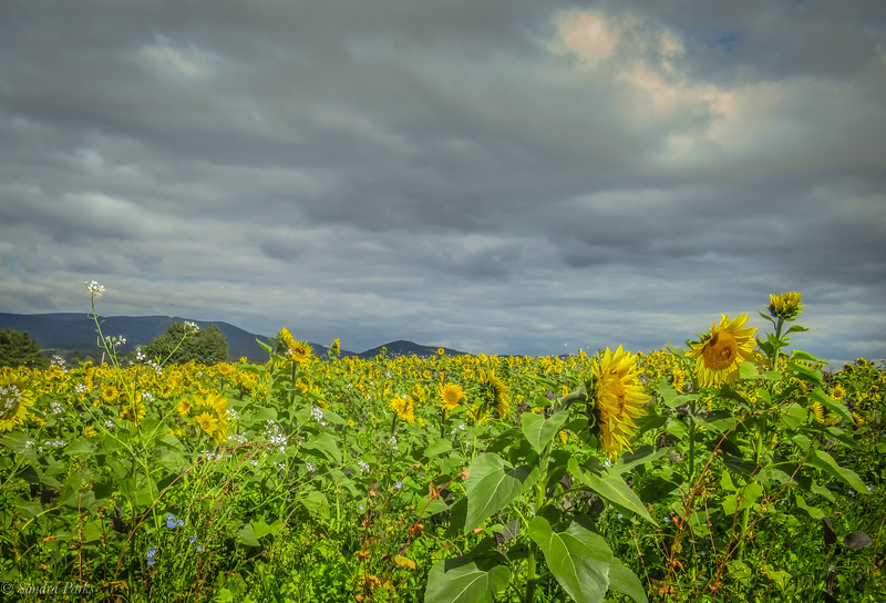 10-5-2020: Mountains and clouds, and sunflowers