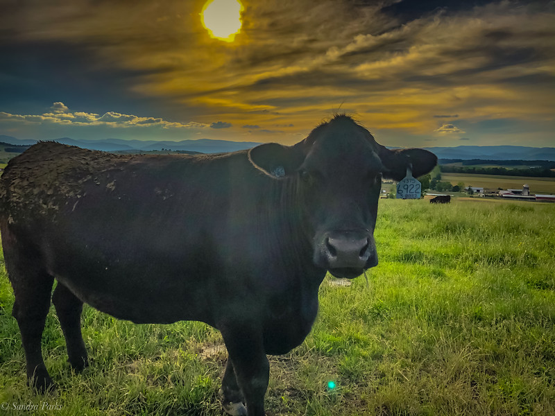 5-26-2020: A staring steer.