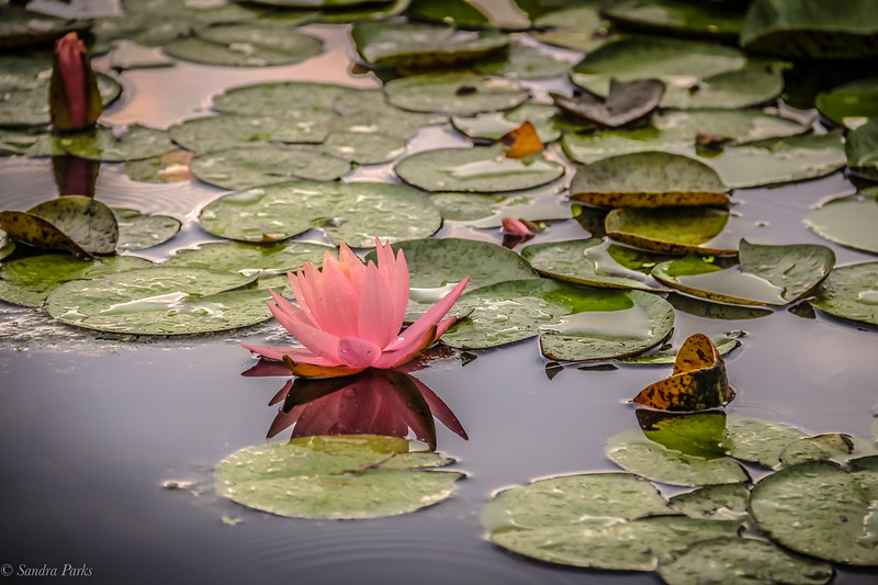 6-14-2020: WAterlily