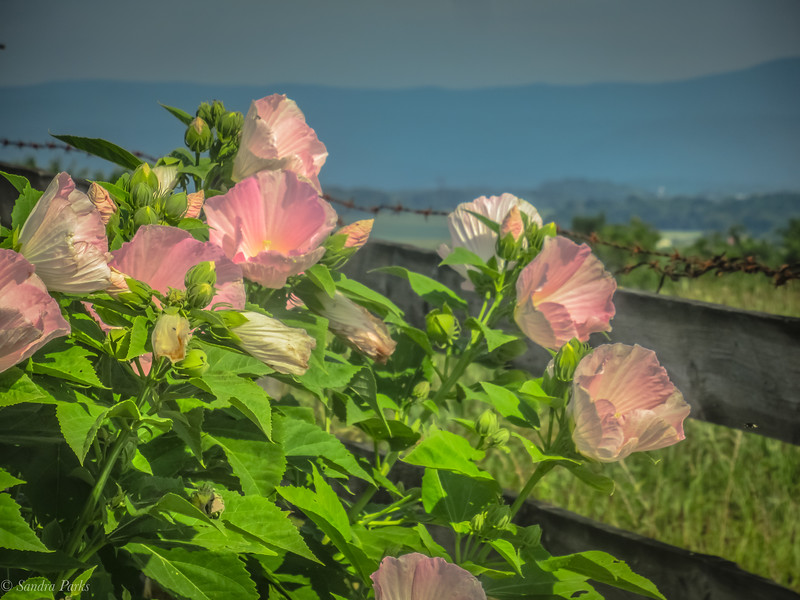 7-22-2020: Hibiscus, with  a view