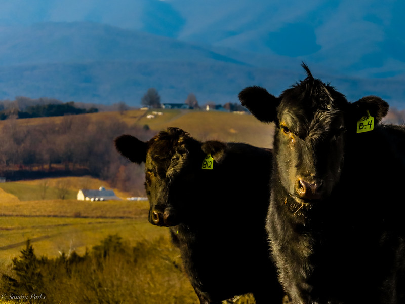 12-20-2020Cows with a view