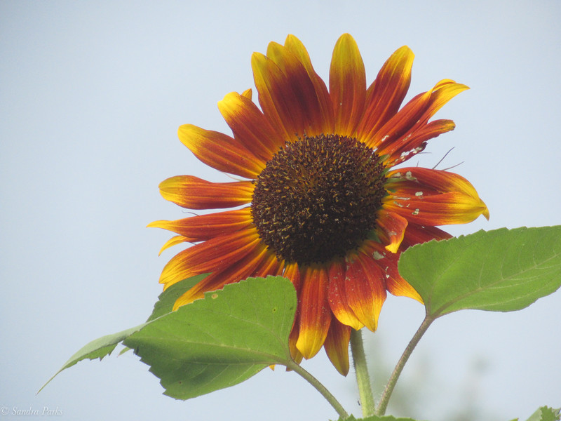 8-9-2020: Sunflower, at home