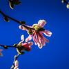 3-7-2020: Tulip magnolia in a bluebird sky