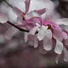 3-15-2020:Tulip magnolia, in the park