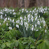 3-3-2020: Signs of spring -2020: SNowdrops
