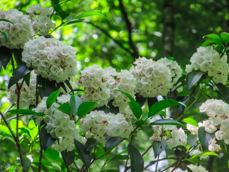 6-7-2020: Mountain laurel