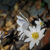 3-13-2020: Bloodroot, in the Arboretum