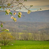 4-12-2020: Apple blossoms and Alleghenies
