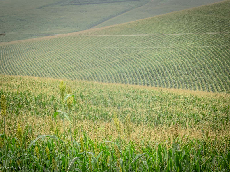 9-1-2020: Corn. Lots of it