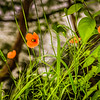 5-5-2020: Poppies by the river