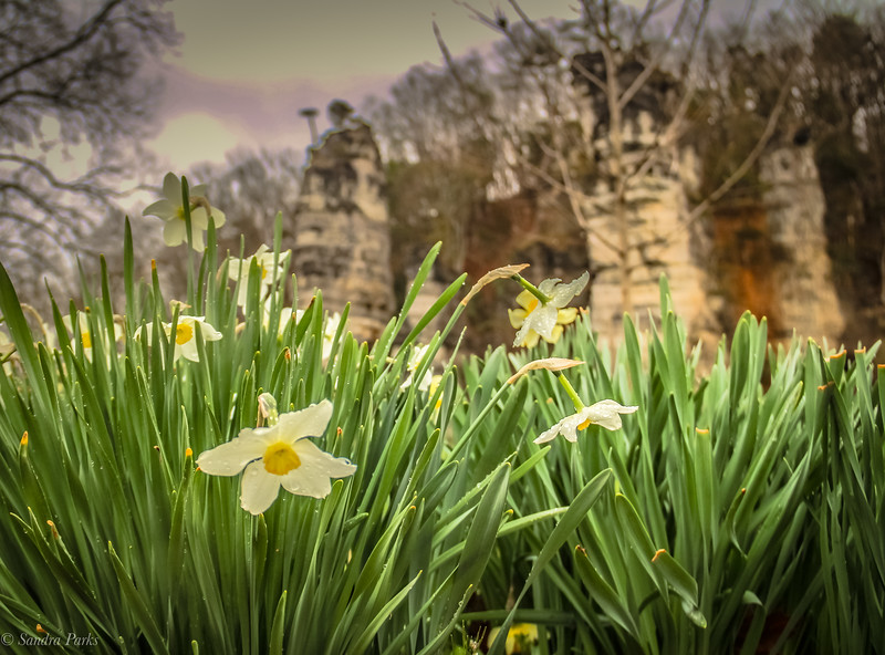 3-23-2020: Daffodils at the Chims .