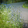 7-13-2020: The road ahead, today. Lined with chicory and Queen Anne's lace.