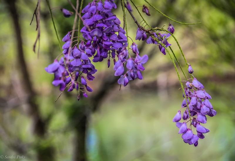5-5-2020: Wisteria by the river