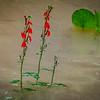 8-15-2020: Cardinal flower