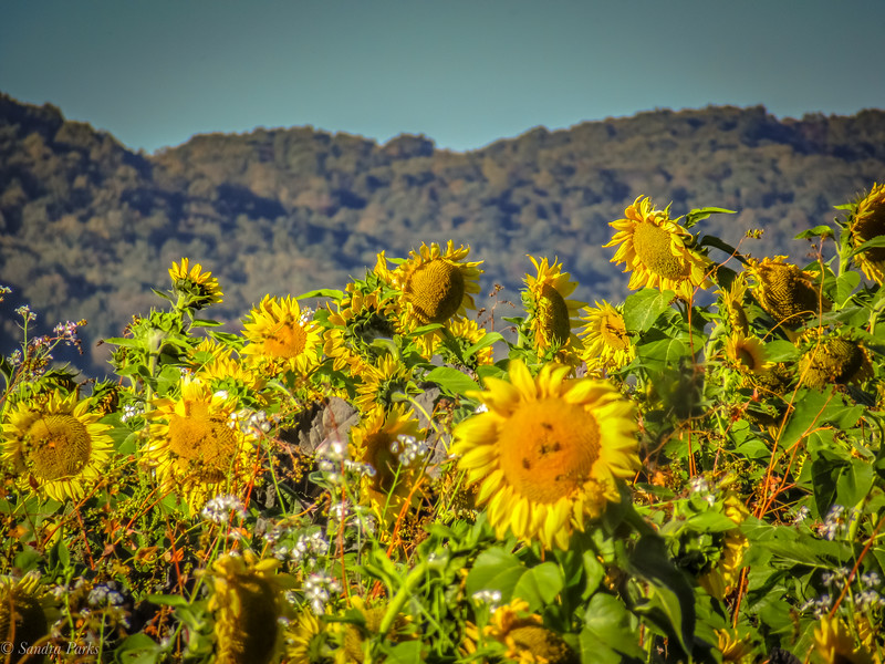 10-8-2020: Mountains and sunflowers