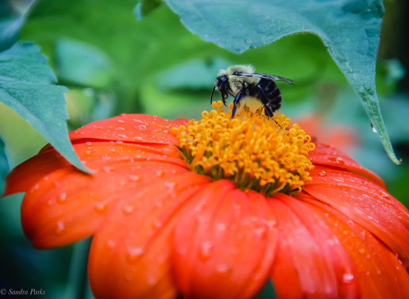 8-28-2020: Bee on a Mexican sunflower
