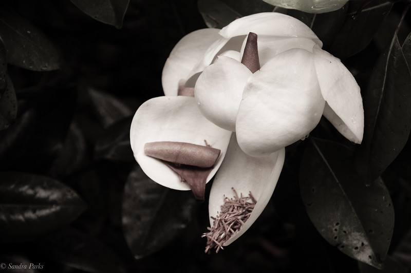 6-17-2020: Magnolia, at home