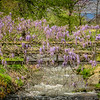 4-14-2020: Wisteria, Spring Creek