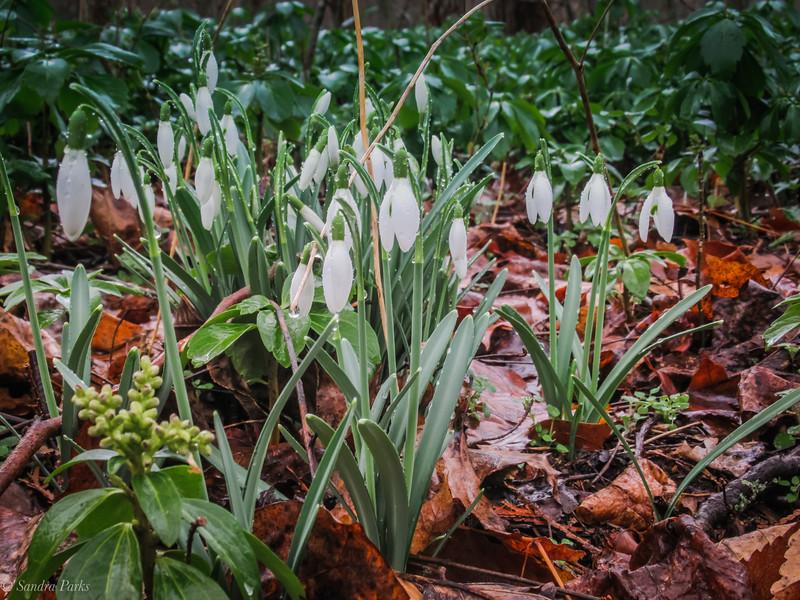 2-13-2020: SNowdrops in the February rain
