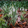 2-13-2020: SNowdrops in the February rain