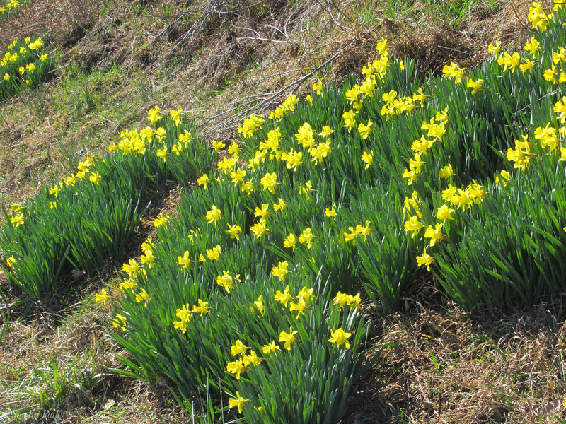3-08-2020: Persistence. Another wild batch of daffodils, pushing through weeds, and brambles