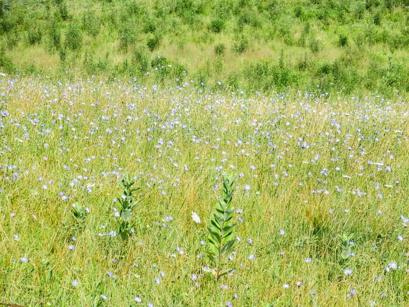 7-20-2020: The simple beauty of a meadow