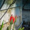 3-30-2020: Abandoned tulip