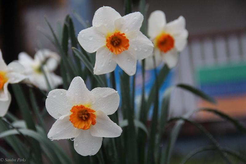 3-15-2020: Front yard daffodils