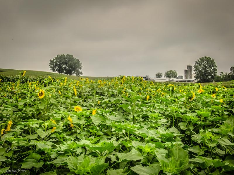 9-1-2020: Sunflower field